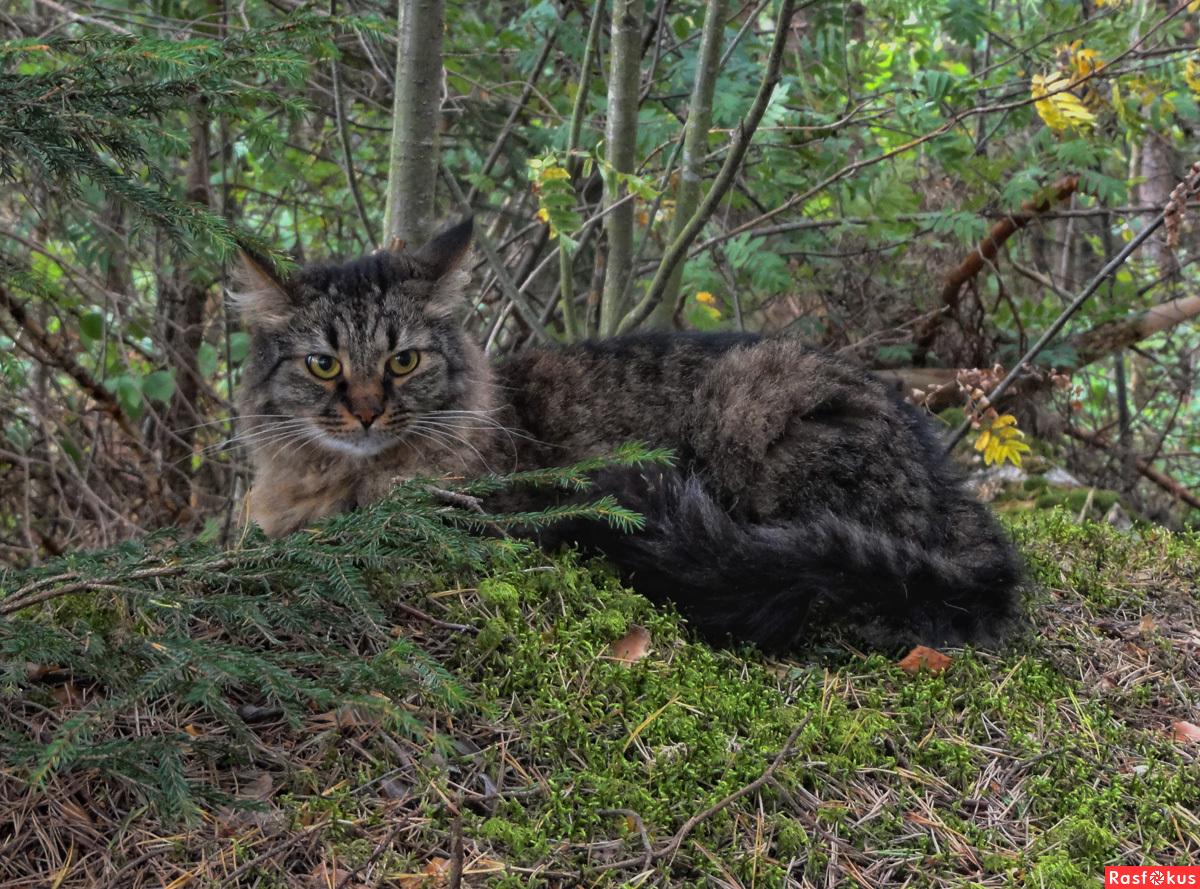 Кот лесной амурский фото