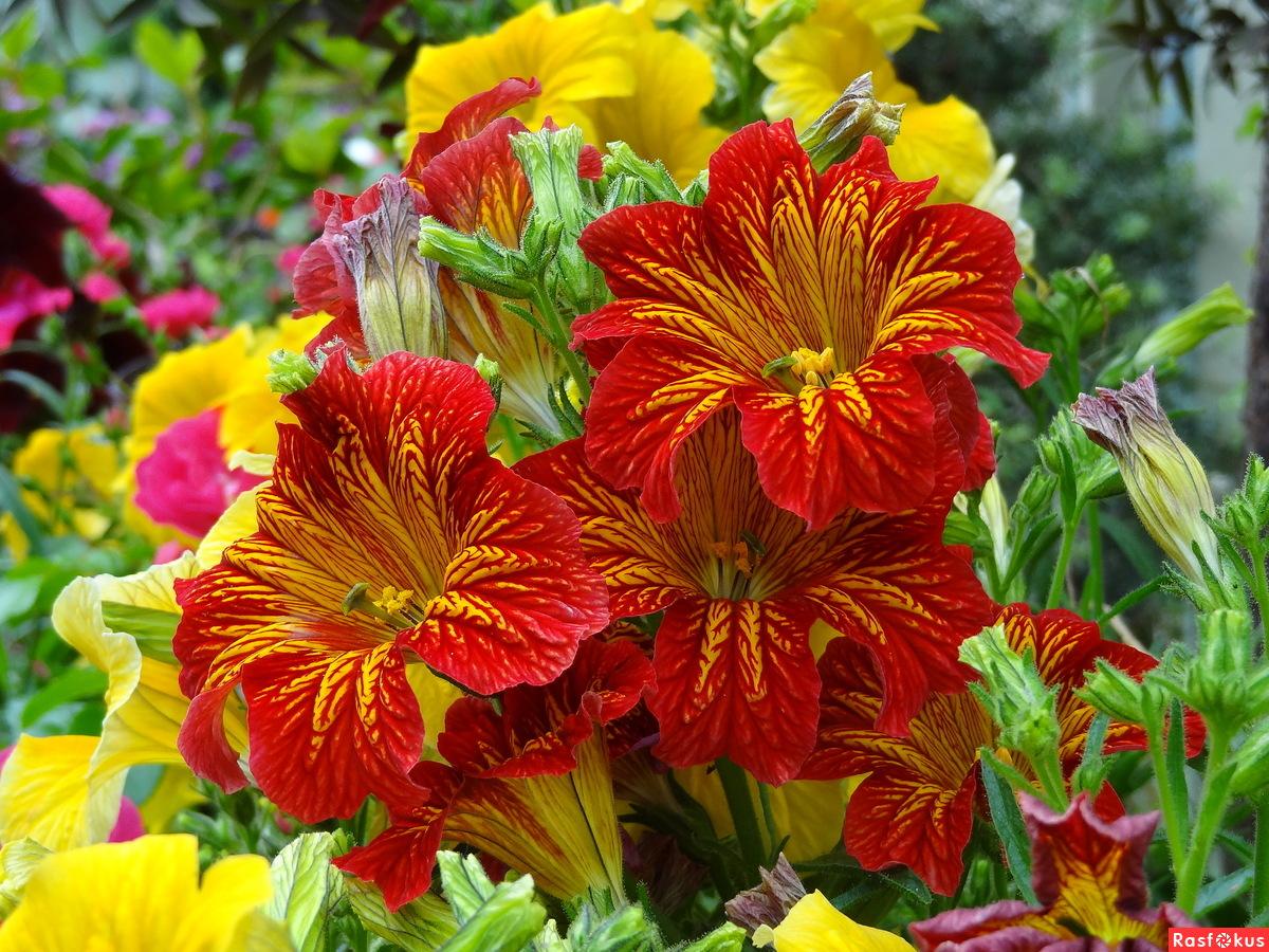 Однолетние цветы, цветущие все лето - название и фото 61