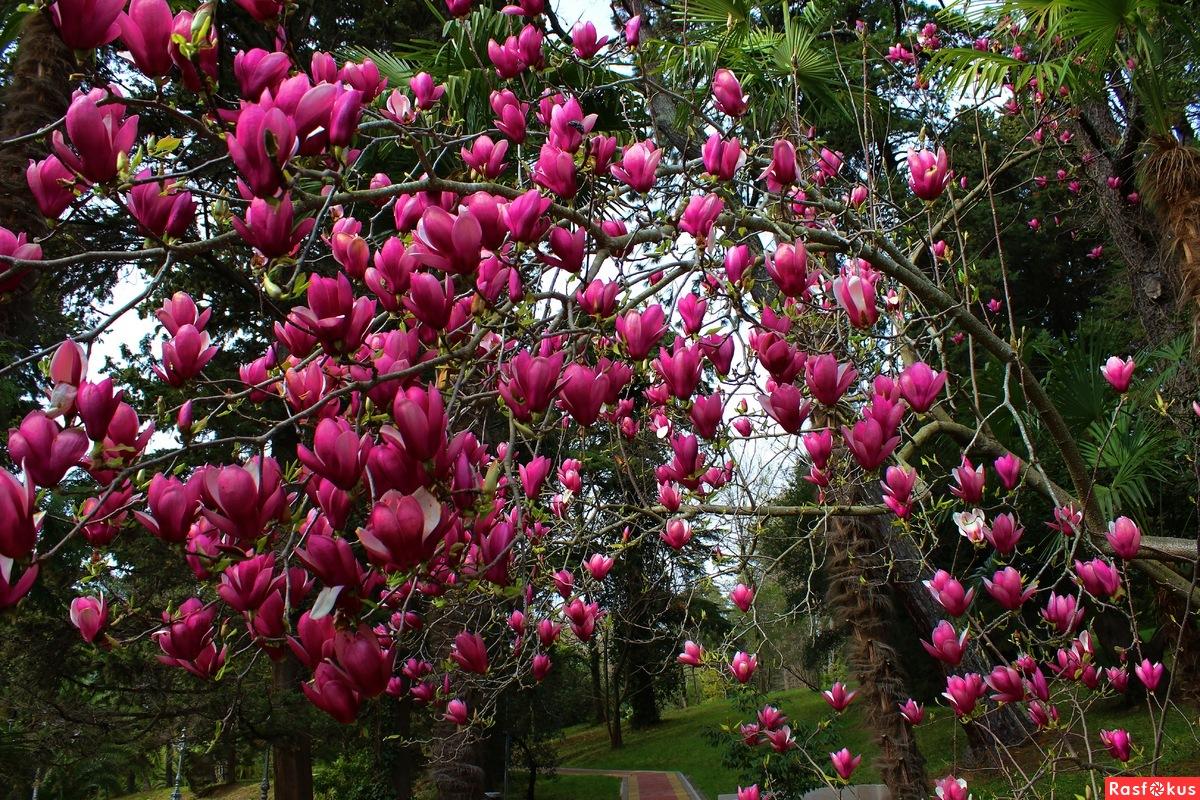 То же что тюльпанное дерево в домашних условиях 991