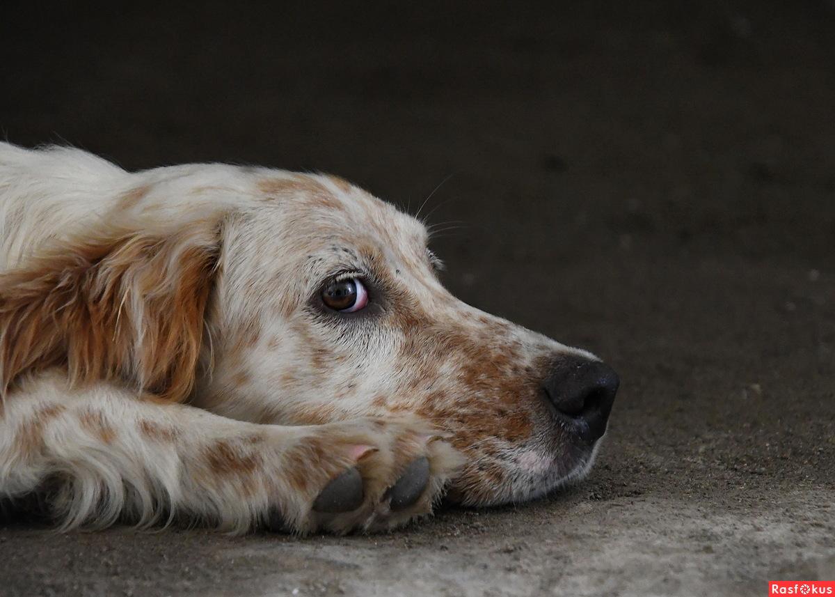 Крепостной пес