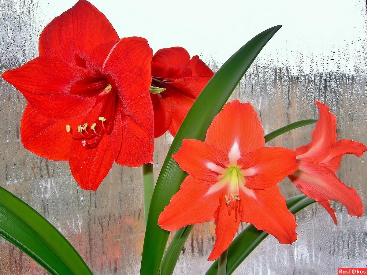 Цветок комнатный луковичный