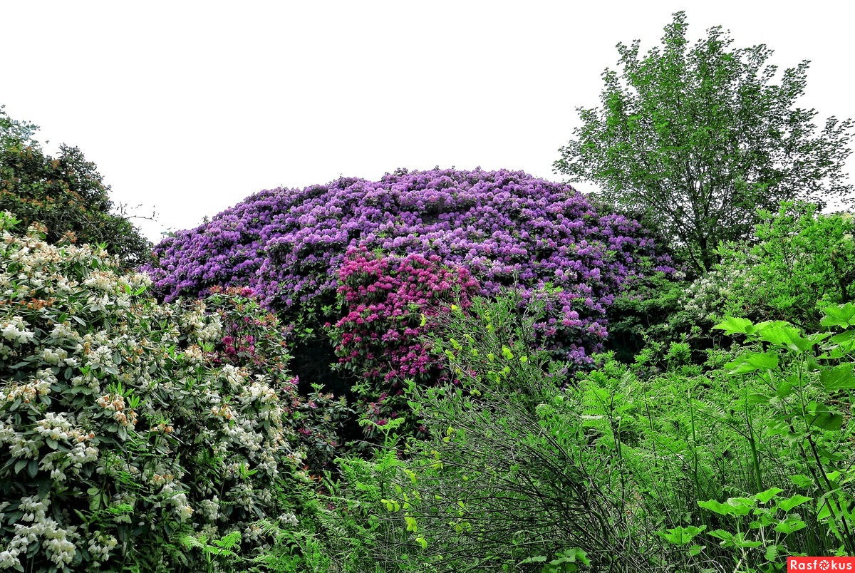 "... continued, in the ""Rhododendron Magic Forest"" ...."