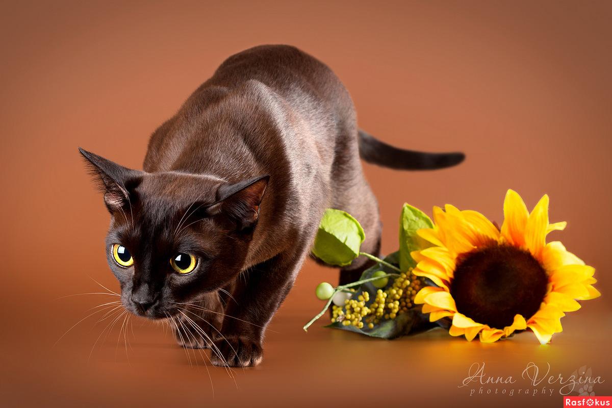 бурманская кошка правила кормления
