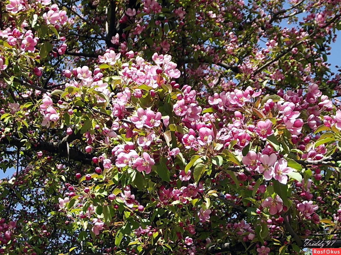Утопает в розовом яблоневый сад...