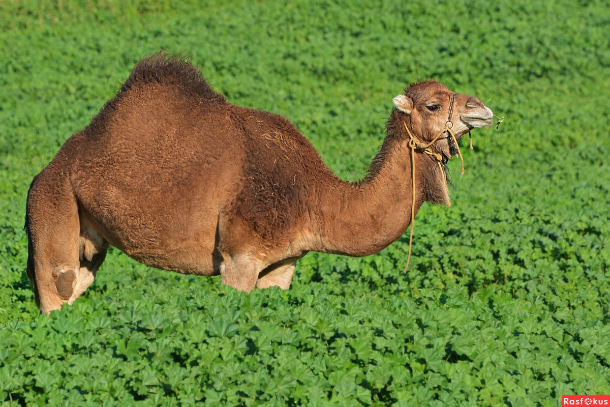 essay on camel animal Bactrian camel is an imposing animal, we are giving here bactrian camel's interesting facts and new photos-images  memento essay ideas for children free memento.