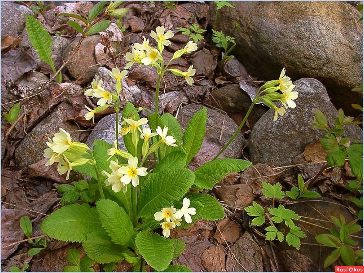 Сибирские лесные цветы с названиями и фото