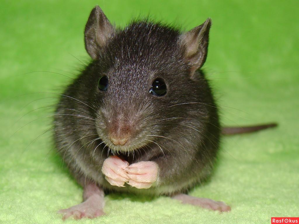 Домашние питомцы крысы