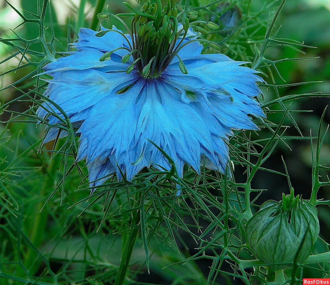 Нигелла дамасская. Выращивание 57