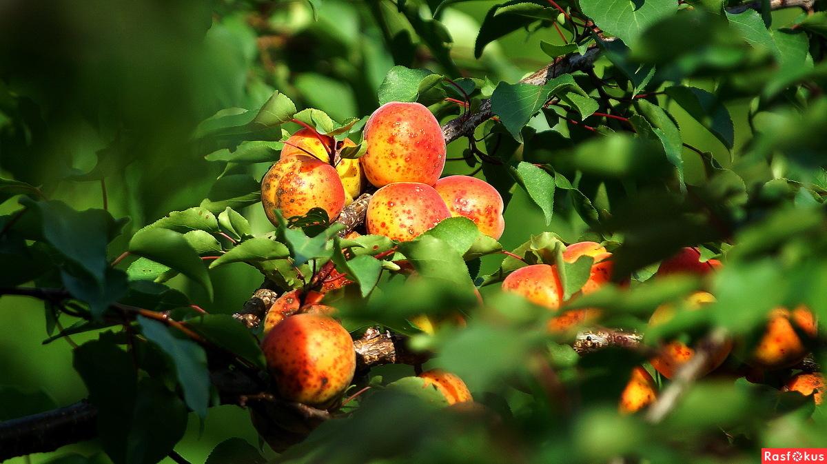 абрикос жердела фото