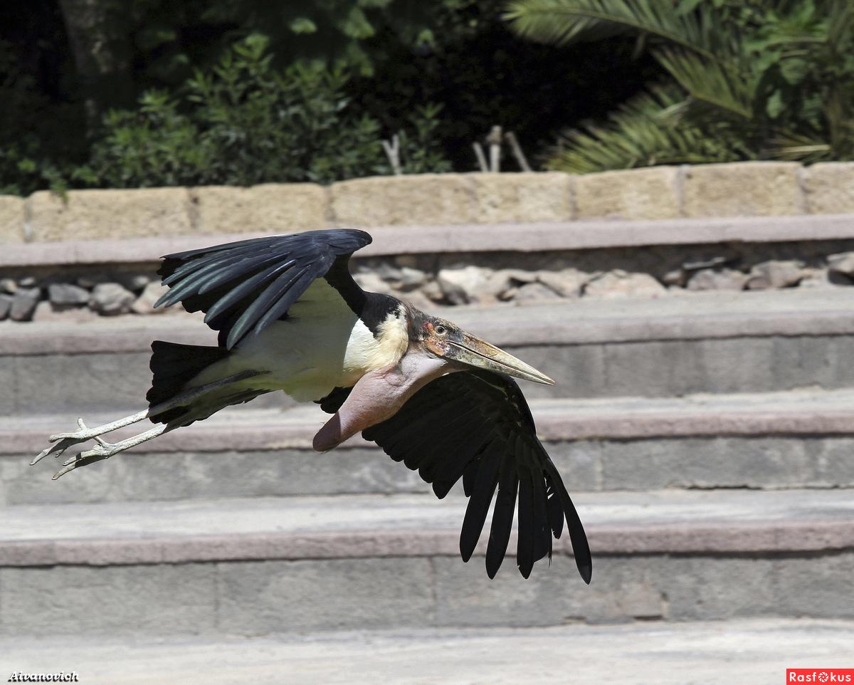 Птица МАРАБУ.