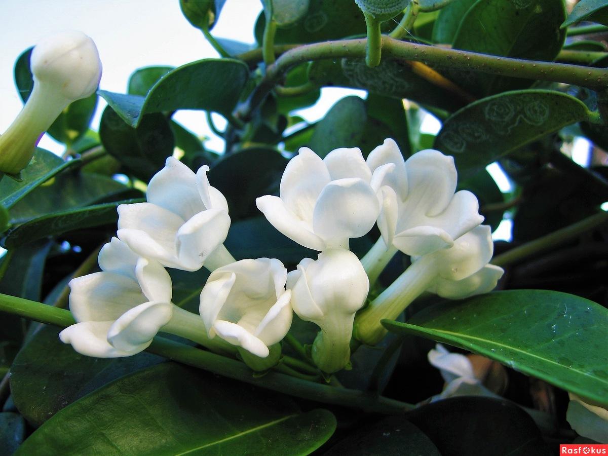 Цветок строфантус