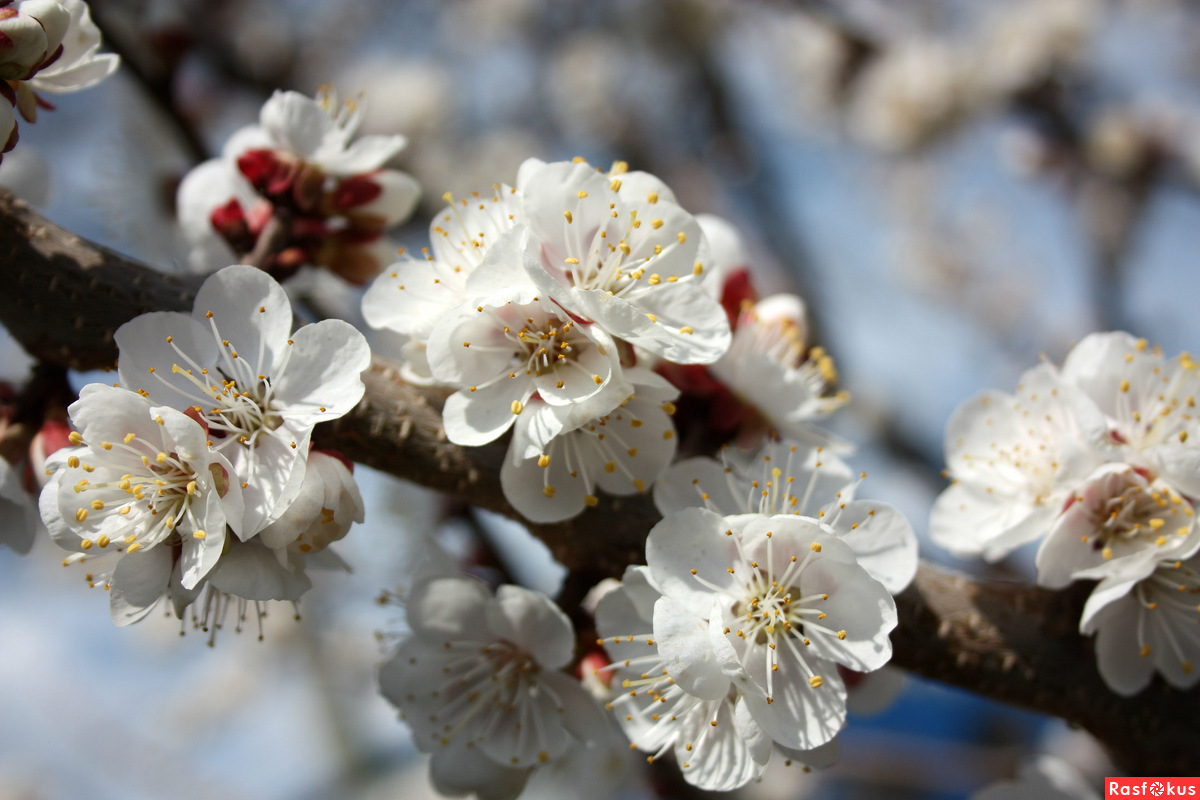 Абрикос цветёт.