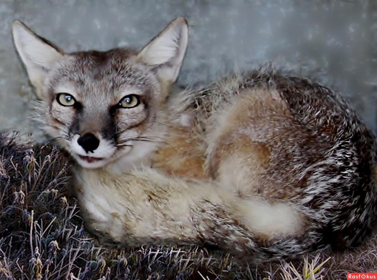 Животные занесенные в красную книгу в россии картинки 6