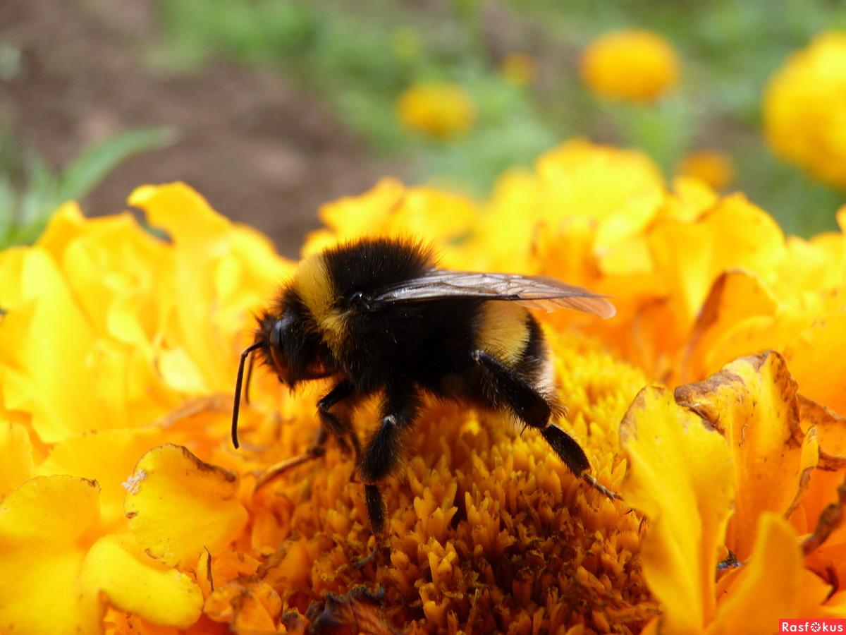 Пчела над цветком фото