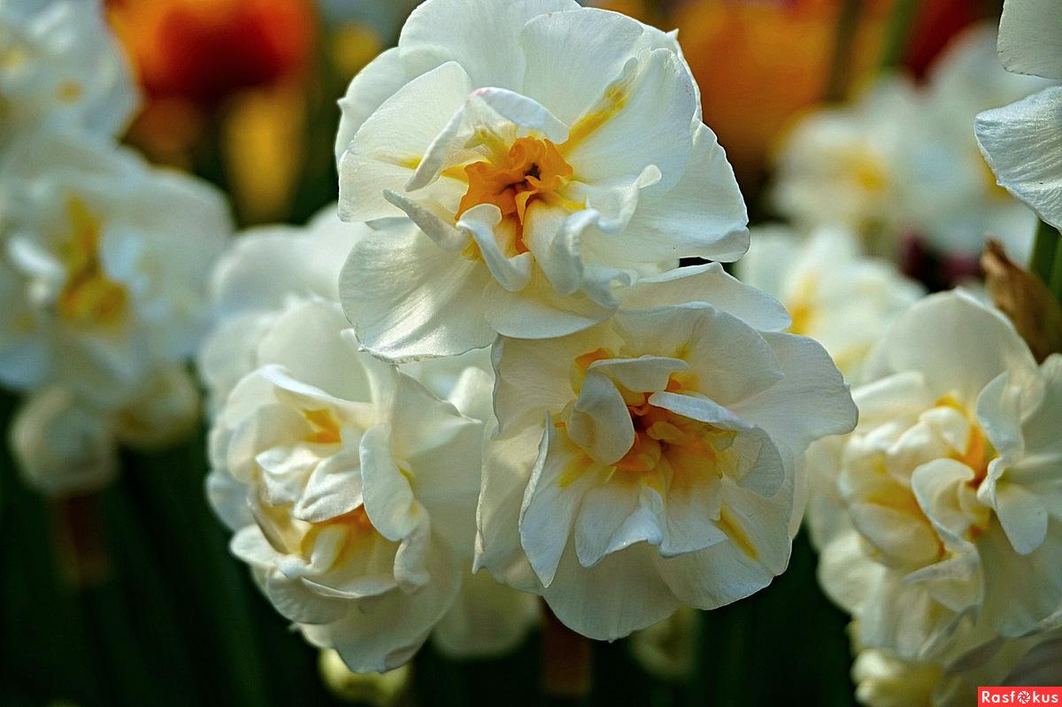 Много цветов на одном стебле