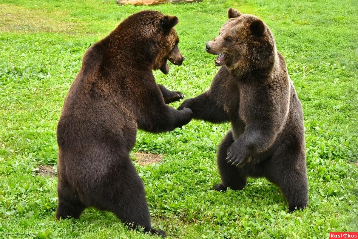 Встретились два медведя ...