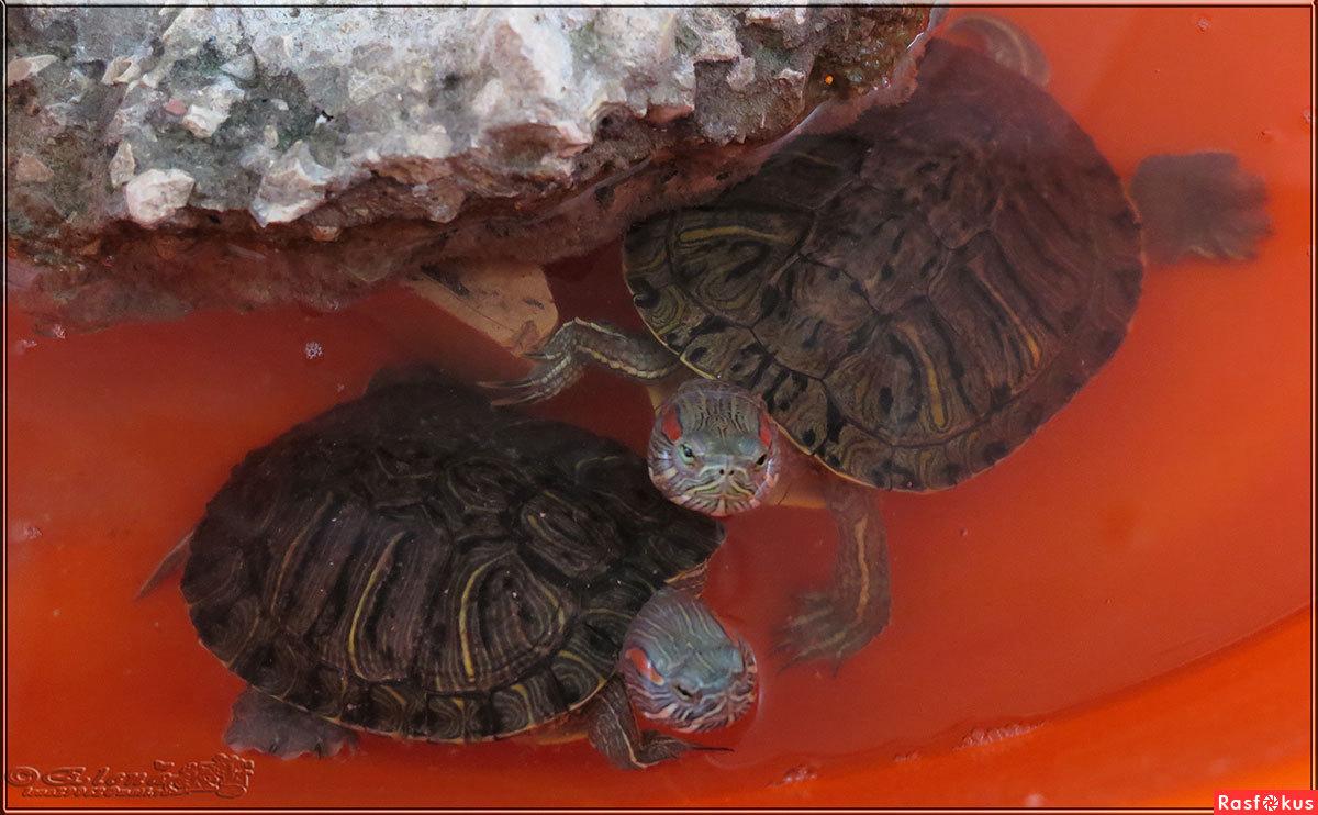 Зимовка красноухих черепах в домашних условиях