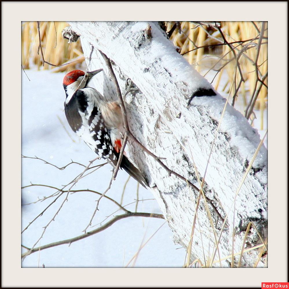 Картинки по запросу дятел в зимнем лесу