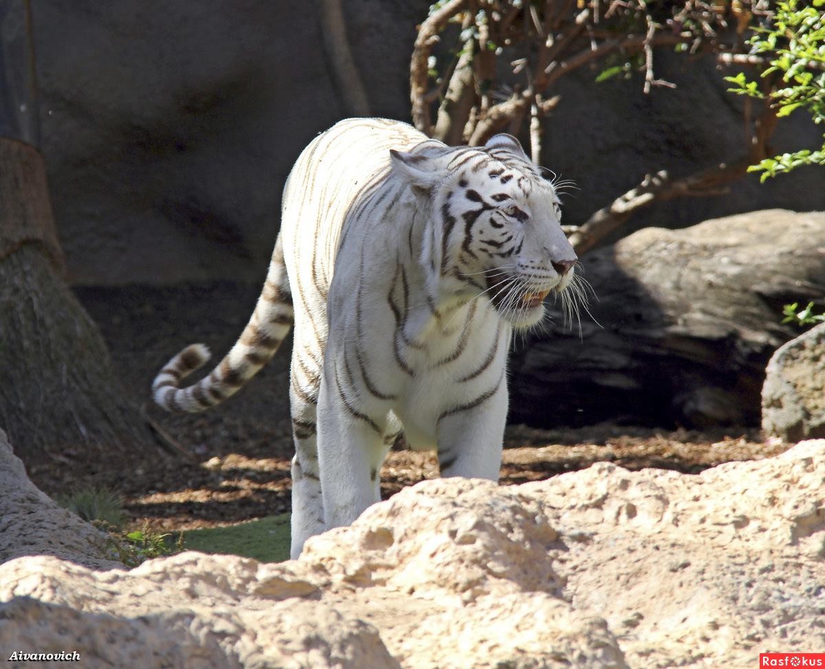 Белый тигр, он призрак из чащи.