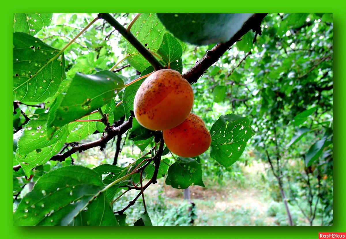 Выращивание абрикоса в тамбове 33