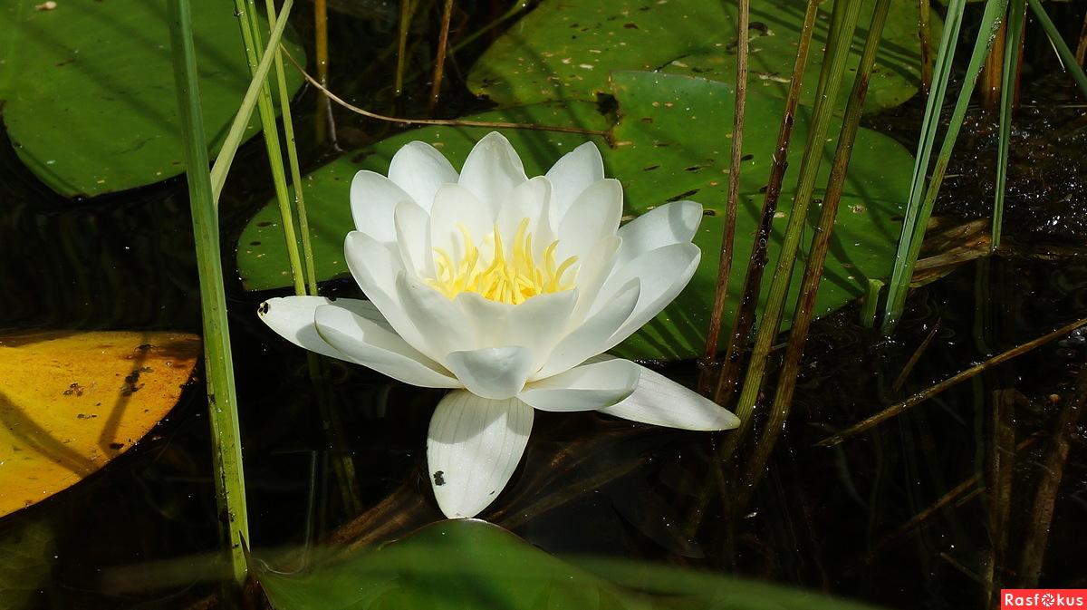 Белая королева лесного озера