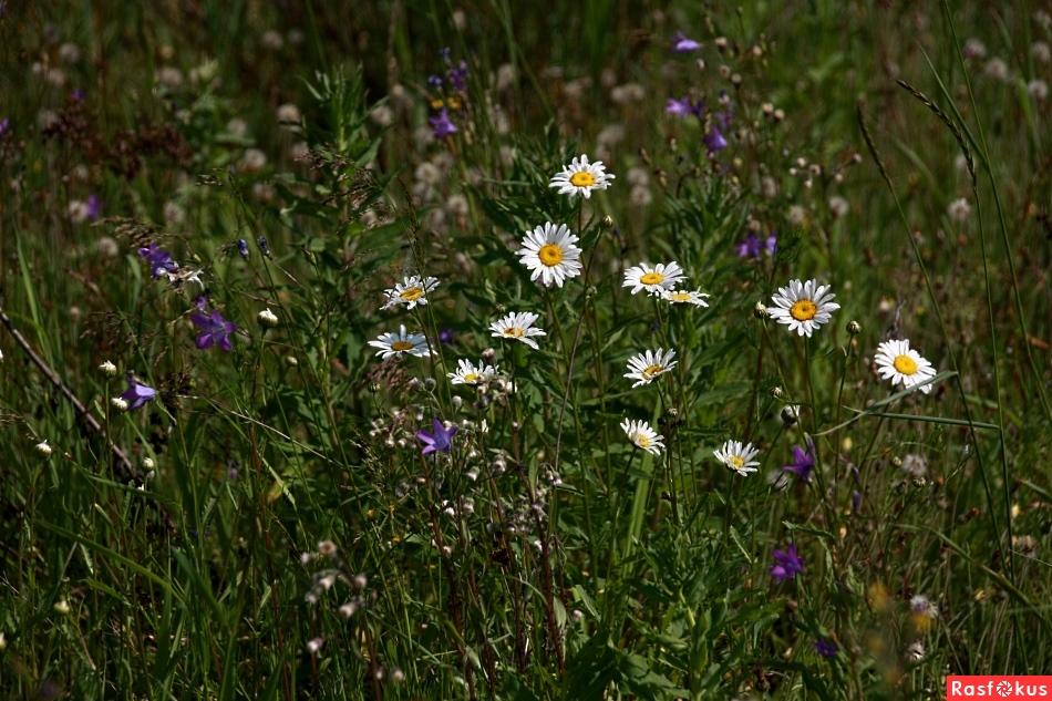 Полевые цветы самые красивые цветы в