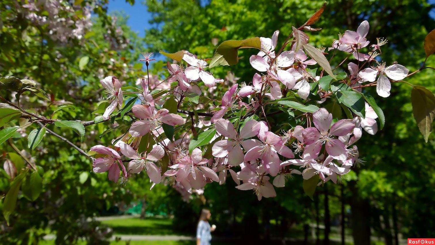 Весна. Вишня цветёт!