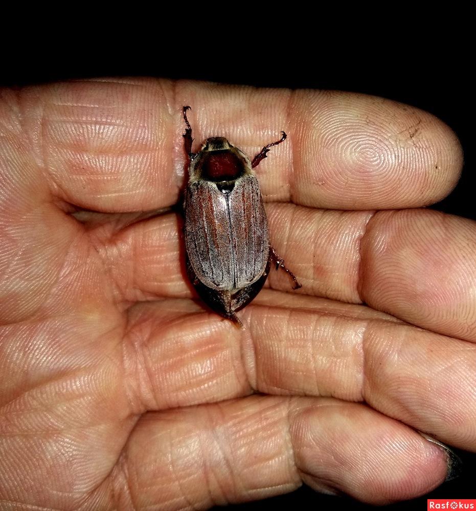 когда ловить майского жука
