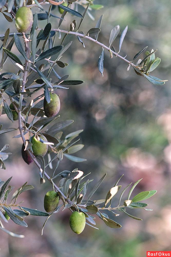 фото веточки оливы