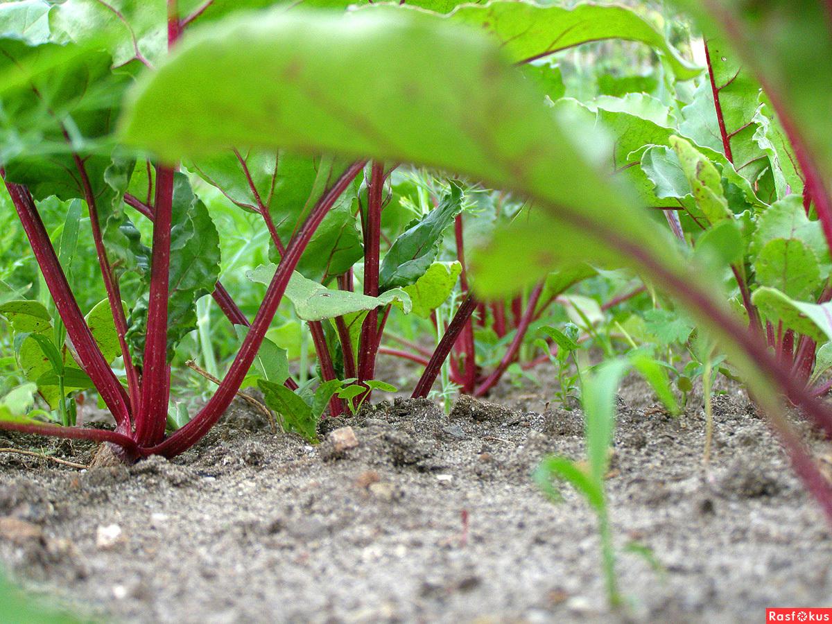 Агротехника выращивания свёклы. Посадка свёклы семенами 18