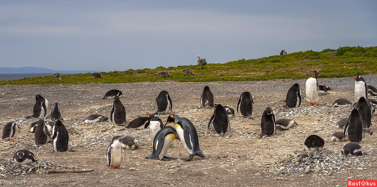 Из жизни пингвинов...