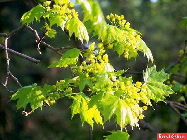 Фото цветка клен