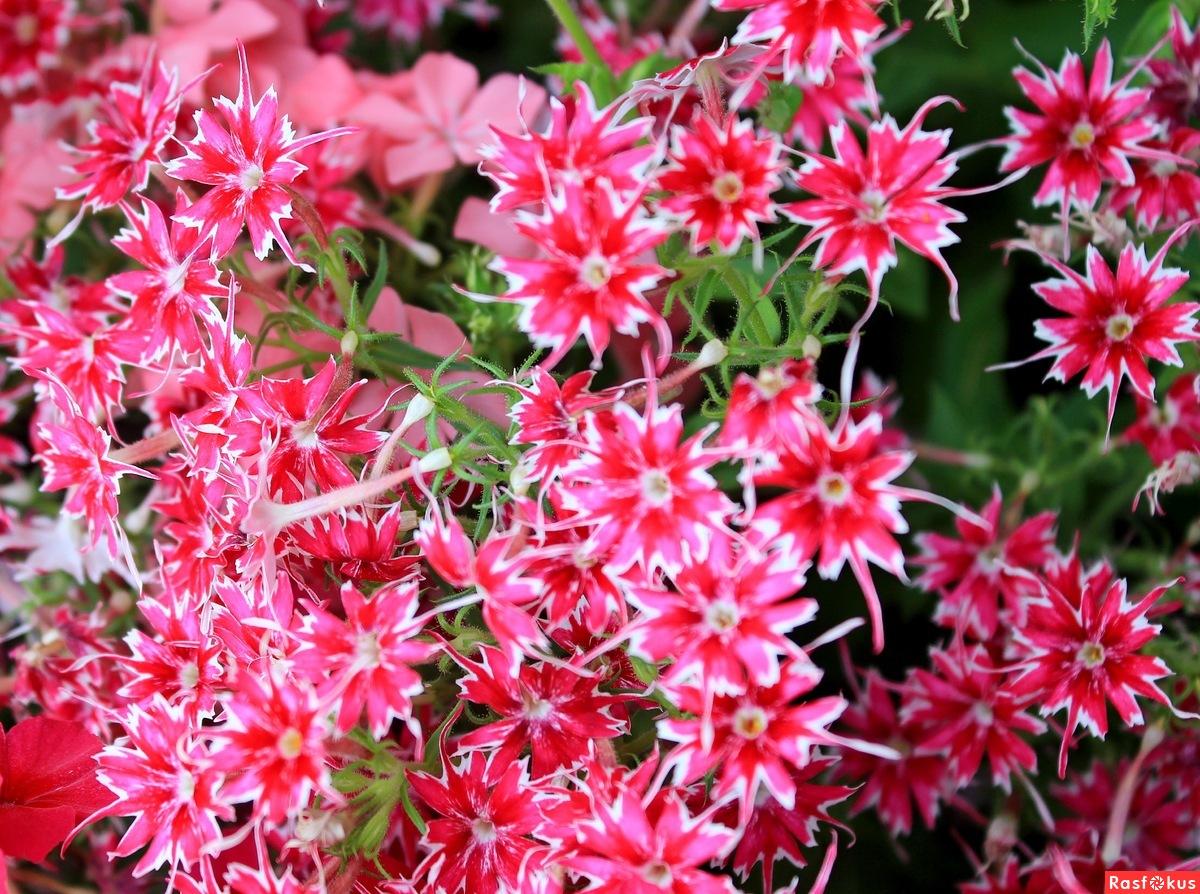 Флоксы мерцающая звезда фото цветов