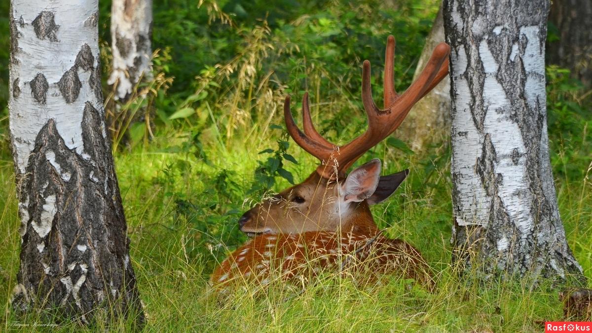 Пятнистый олень в лесу