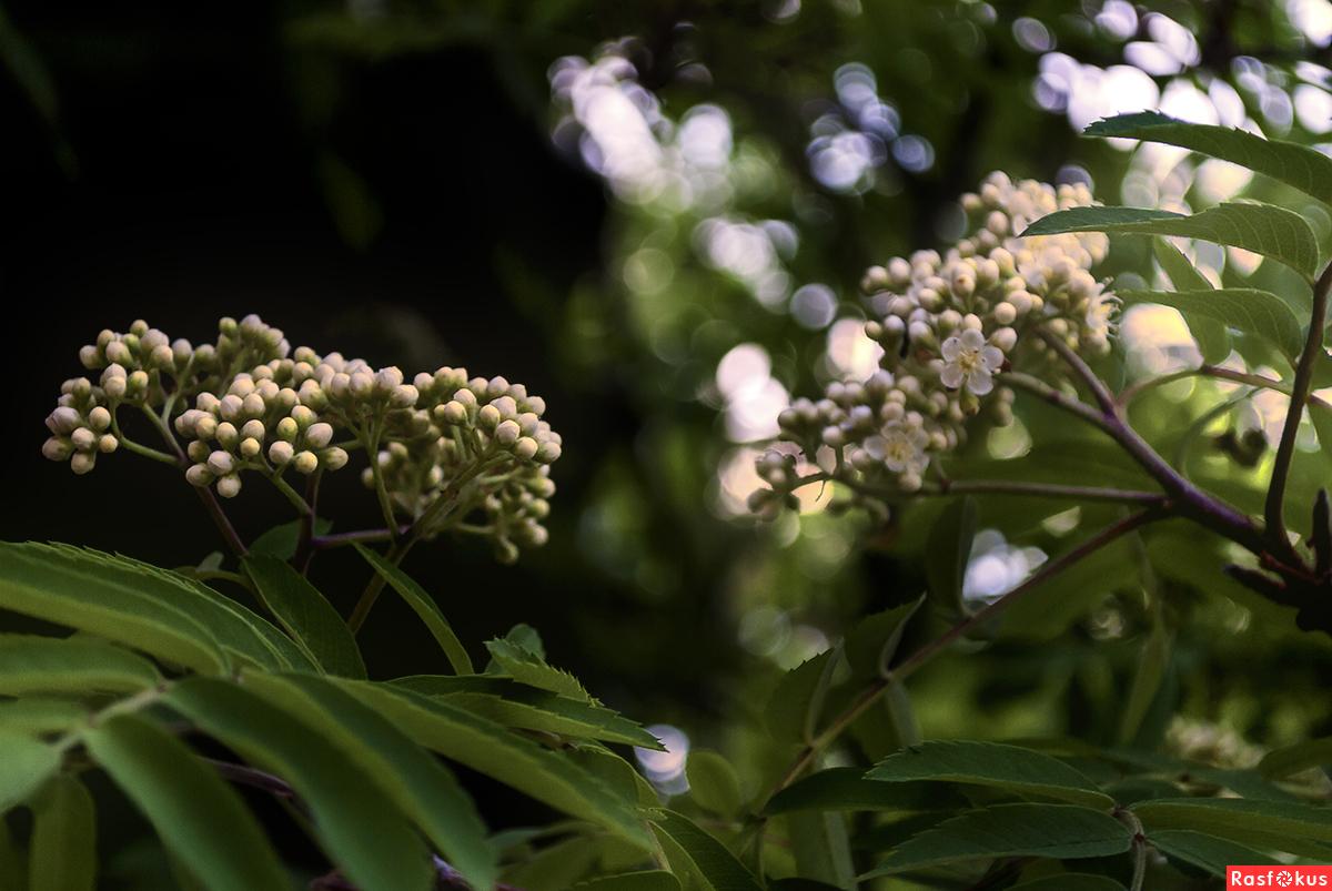 Рябина кудрявая белые цветы