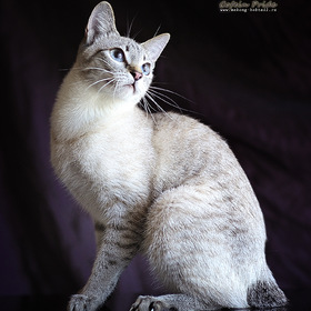Mekong bobtail kitten - unique lynx-point color.