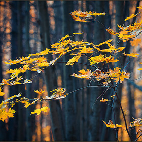 Yellow leaves ...