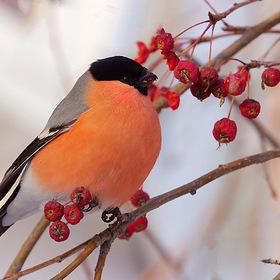 блинчиков как розовые яблоки на ветках снегири договору