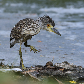 Yellow-crowned Night-Heron ( juvenile)