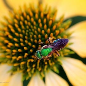 Agapostemon - green metallic bee