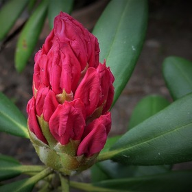 Rhododendron before flowering ...