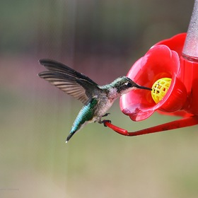Red-throated hummingbird, female